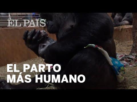 NACIMIENTO GORILA: El parto que ha cautivado al zoo de Washington | Virales